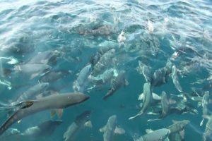 特別天然記念物「鯛の浦」の真鯛