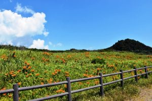 太東海浜植物群落のスカシユリ