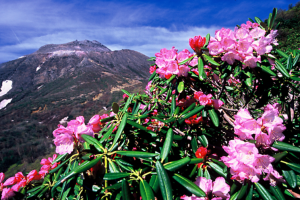 アズマシャクナゲが咲き誇る春