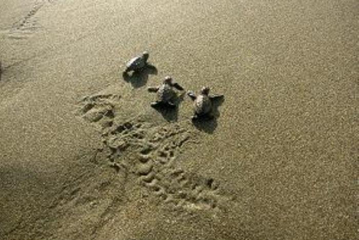 孵化した子ガメが海に戻る光景