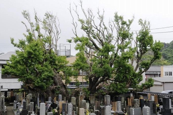 高照寺の乳公孫樹 (ちちいちょう)