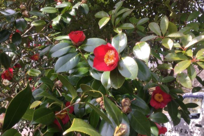 椿公園の見事なツツジの花